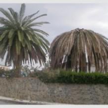 """Una plaga de """"Picut Roig"""" afecta a les palmeres de la zona de Bixquert"""